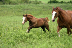 Two Galloping Horses. Big fat ranch gelding loping across pasture with 4 month old filly racing along beside him as she easily outruns him. Horses are identical Royalty Free Stock Photography