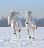 Two galloping snow-white horses. Gray Welsh pony galloping on snow field Stock Photos