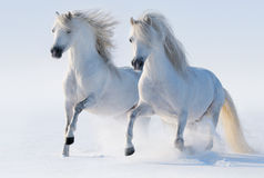 Two galloping snow-white horses Royalty Free Stock Images