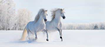 Two galloping white ponies. Two galloping white Welsh ponies on snow field Royalty Free Stock Photography
