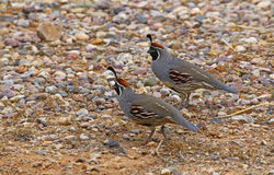 Two Gambel's Quail (Callipepla gambelii) Stock Images