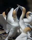 Gannets Courting, Muriwai, New Zealand -4. Two gannets courting at the breeding colony of gannets who return annually to mate, breed and raise their young stock photos