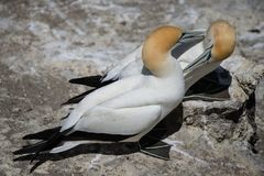 Gannets Courting, Muriwai, New Zealand -5. Two gannets courting at the breeding colony of gannets who return annually to mate, breed and raise their young royalty free stock photo