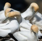 Gannets Courting, Muriwai, New Zealand -6. Two gannets courting at the breeding colony of gannets who return annually to mate, breed and raise their young stock photography