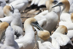 Two gannets courting Stock Photo