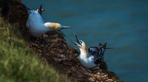 Two Gannets fighting at bempton Cliffs, Yorkshire , UK Royalty Free Stock Image