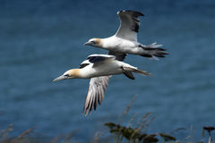 Two gannets in flight over clifftops Stock Photography