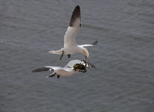 Two gannets Royalty Free Stock Image