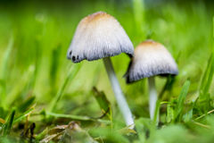 Two Garden Mushrooms between Grass. A closeup of Two garden mushrooms between grass with a very green background Stock Image