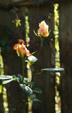 Two garden roses growing in front of a wooden fence. Close up Royalty Free Stock Images