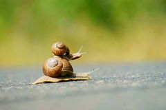 Two garden snails racing Royalty Free Stock Images