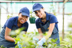 Two gardeners greenhouse. Beautiful two young gardeners working inside greenhouse Royalty Free Stock Photo