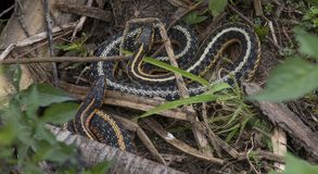 Garter Snakes. Two Garter Snakes coiled together in a wetland royalty free stock photos