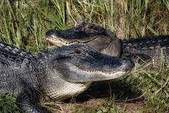 Two Gators Stock Images
