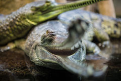 Two gavials Royalty Free Stock Photo