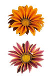 Two gazania isolated on white Royalty Free Stock Images