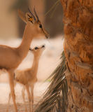 Two Gazelle Royalty Free Stock Images