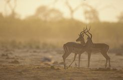 Two Gazelle side by side on savannah stock photography