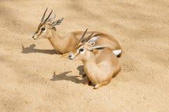 Two gazelles Stock Photography