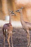 Two gazelles Stock Photography
