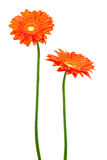 Two geberas (african daisy) Royalty Free Stock Photo