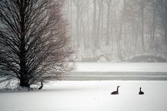 Two Geese. On a frozen pond stock photos