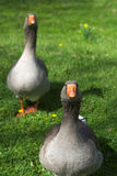 Two Geese stock photos