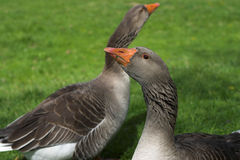 Two Geese stock images
