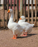 Two geese Royalty Free Stock Photos
