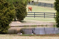 Two Geese Royalty Free Stock Image