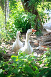 Two Geese Stock Photography