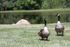 Two Geese Stock Image
