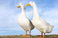Free Two Geese Against Blue Sky Royalty Free Stock Photo - 31842155