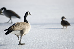 Two Geese And A Duck Royalty Free Stock Photo