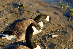 Two geese on the beach Royalty Free Stock Photo