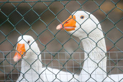 Two geese in cage Royalty Free Stock Photos