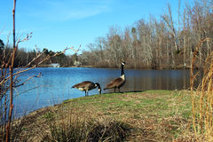 Two geese feeding by the lake Stock Photos