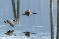 Two geese flying above water. Royalty Free Stock Photography