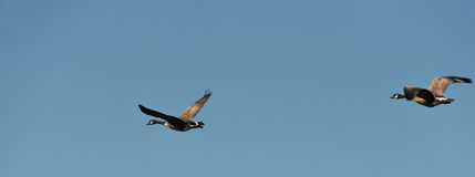 Two Geese Flying On A Blue Sky Royalty Free Stock Images