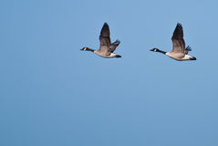 Two Geese Flying In Unison Stock Photography