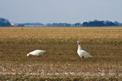 Two geese forage on a field in winter. Time Royalty Free Stock Photography