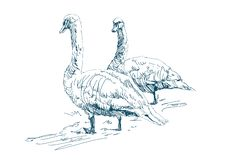 Two geese graze on a farm. Beautiful white swans. Domestic ducks royalty free illustration
