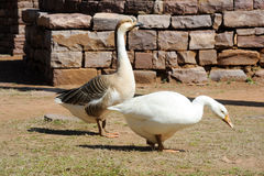 Two geese at Great Buddhist Stupa in Sanchi, India Royalty Free Stock Photo