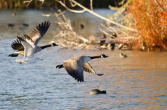 Two Geese and a Gull Flying Low Over the Autumn Pond Royalty Free Stock Image