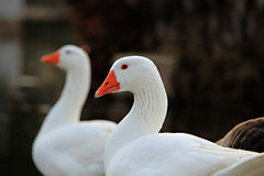 Two Geese by the Lake Stock Image