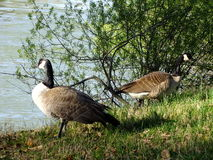 Two geese at the lake Stock Images