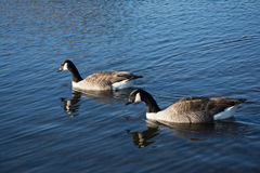 Two geese on the lake. Two geese together in unison on the water in the sun Stock Photos