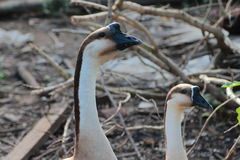 Two geese live naturally in the daytime. Two geese live naturally in the daytime in thailand Royalty Free Stock Photos