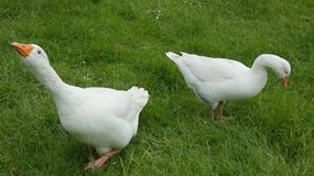 Two Geese in Long Grass stock images