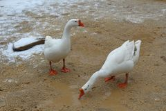 Two geese in the mud stock images